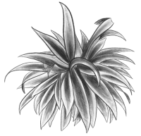 Dr. Sours products - Sotol Sotomayor - Agave bw picture